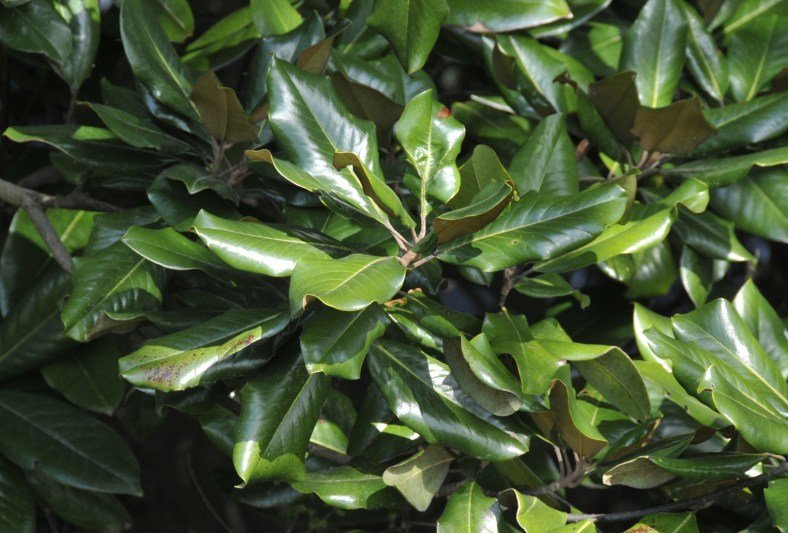 Close shot of the waxy leaves of the magnolia tree