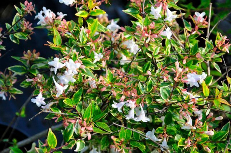 Vivid green, pointy leaves with white, trumpet shaped blooms.