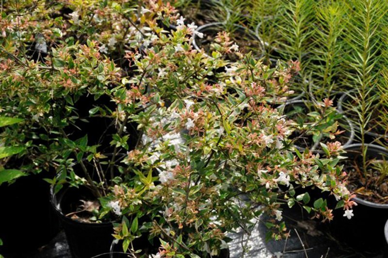 Shrubs with white blooms in black plastic pots.