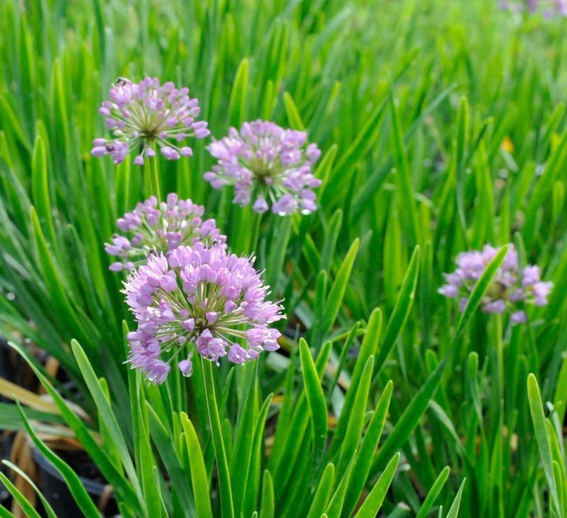 Five pinkish purple blooms of Allium 'Millennium' agains green background.