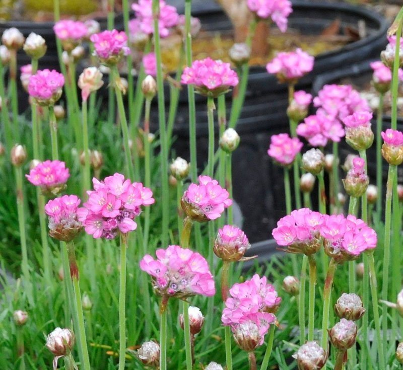 Several pink Armeria 'Splendens' blooms.