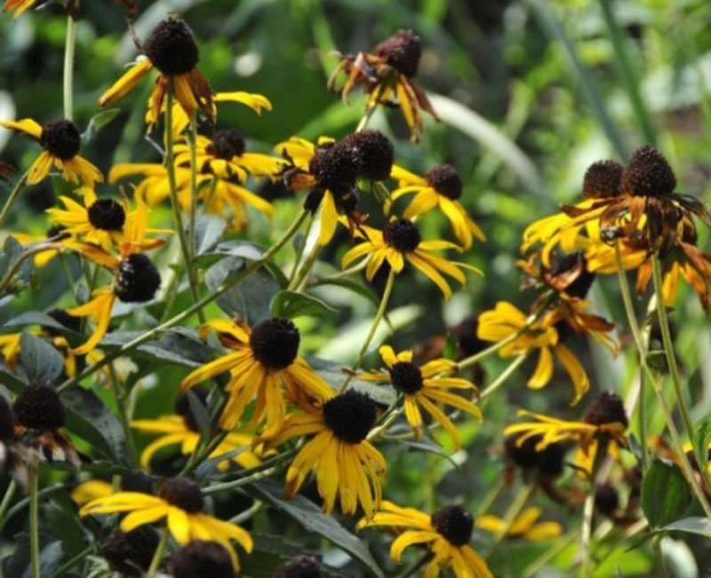 Black seed heads with yellow flowers.