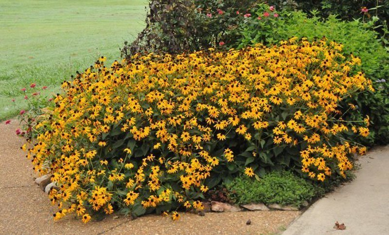 Large clump of bright yellow Black Eyed Susans.