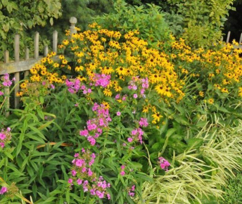 Clump of yellow Black Eyed Susans next to wood fence.