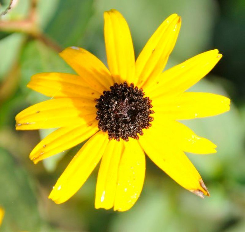 Single bright yellow, bloom with black center.