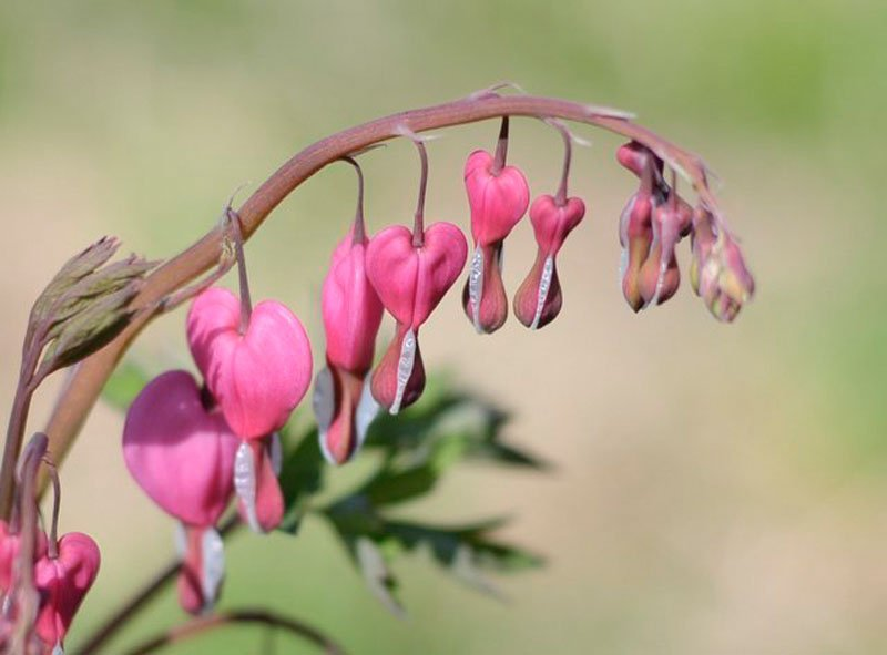 Series of bleeding heart pink blooms next to each other.