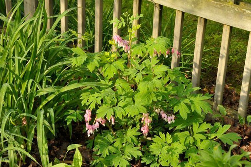 Bleeding Heart Plant with pink blooms.