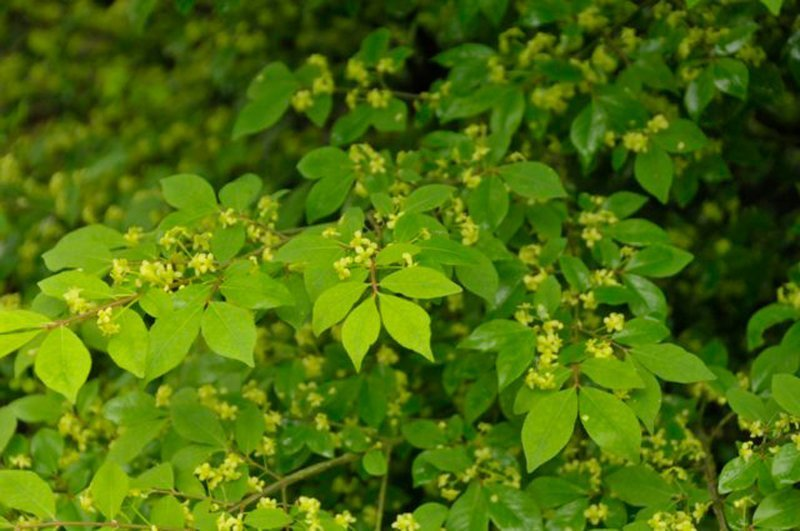 Delicate green leaves with light green buds.