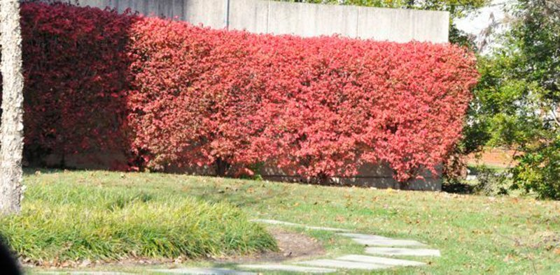 Hedge with bright red leaves.