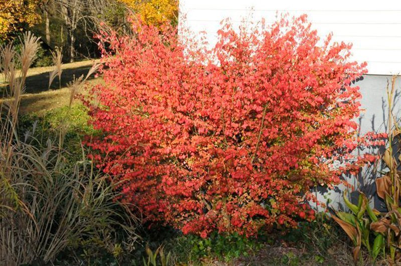 Red leaves on shrub next to house.