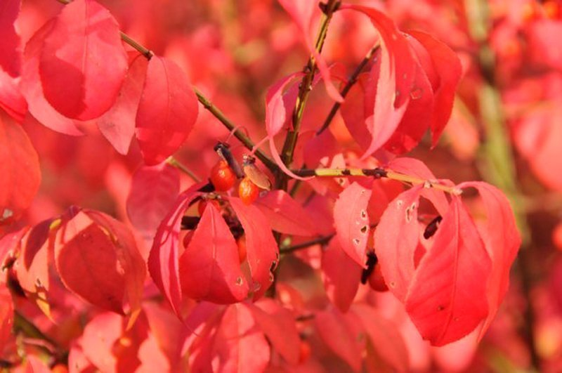 Closeup of red leaves on shrub.