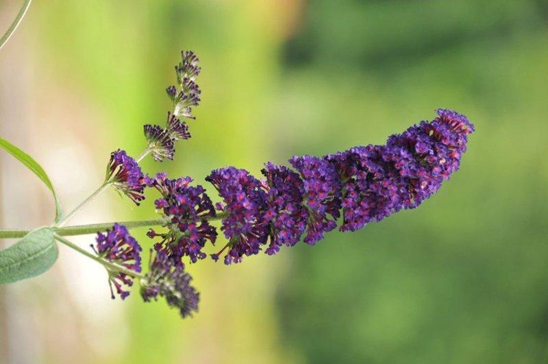 Singular dark purple bloom made up of many tiny blossoms.