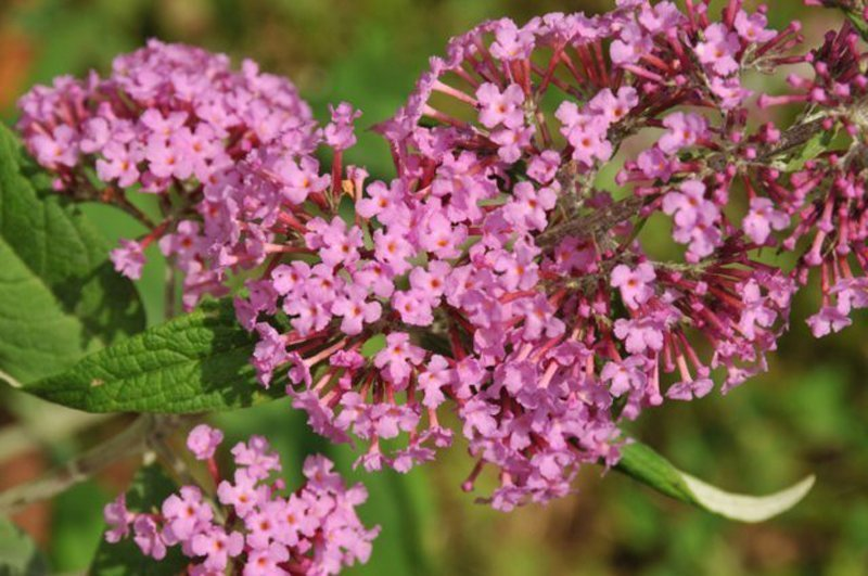 Cluster of tiny pink, trumpet shaped blossoms.