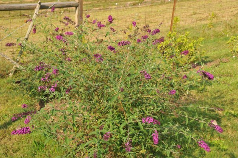 Mature bush with green stems and leaves with purple blooms.