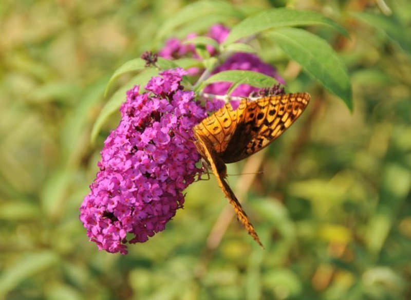 Purple bloom with tiny blossoms and large orange butterfly on bloom.