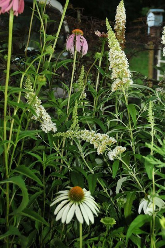 Large white blooms in flowerbed with green leaves.