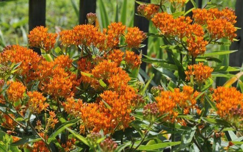 Multiple orange blooms of Butterfly Weed.