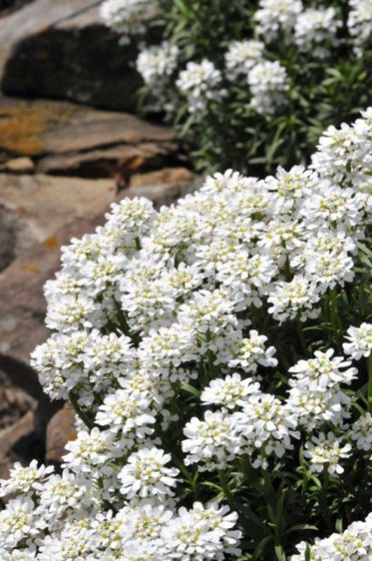 Delicate white blooms.