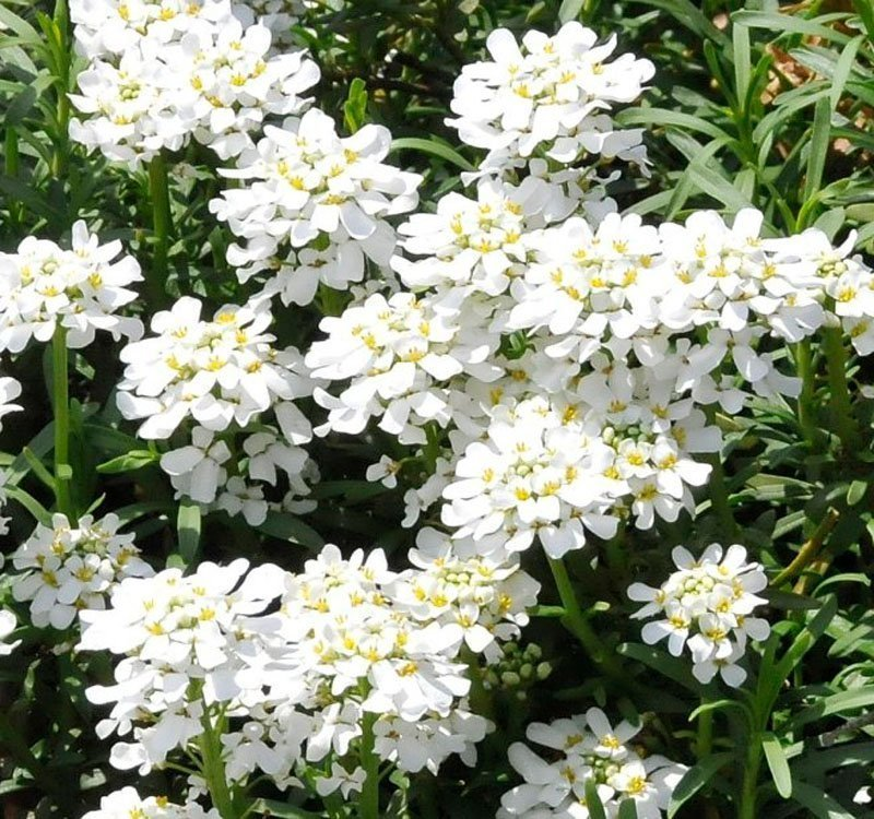 White blooms with yellow centers and green leafy stems.