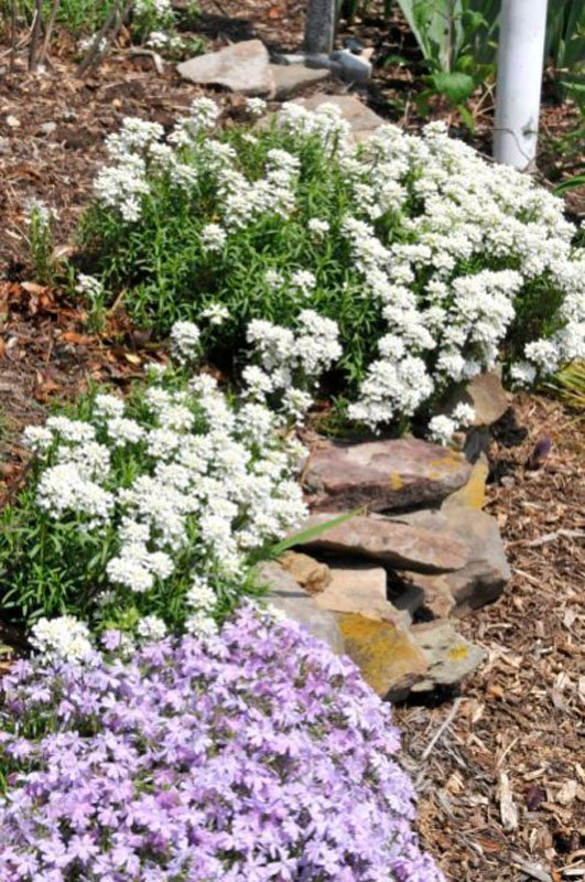 White Candytuft plants along rock wall in flowerbed.