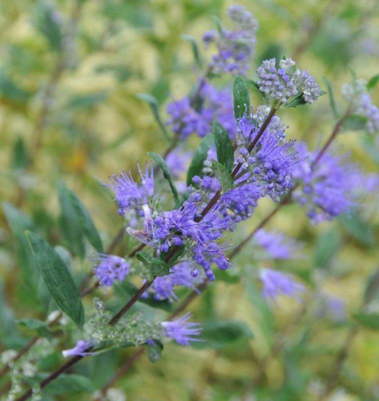 Purple blooms on long stems.