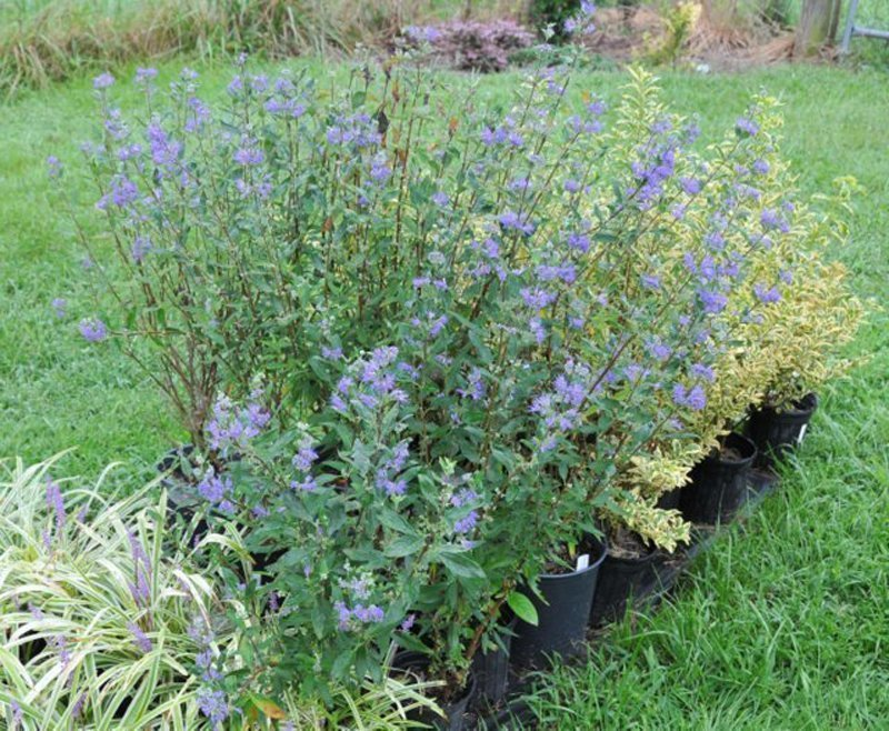Shrubs in black pots with pointy leaves and purplish blue blooms.