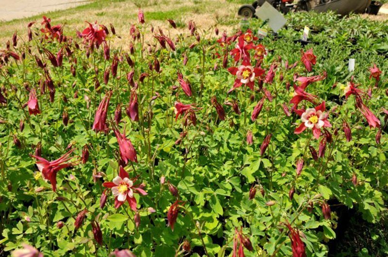 Columbine plants preparing to bloom with red flowers.