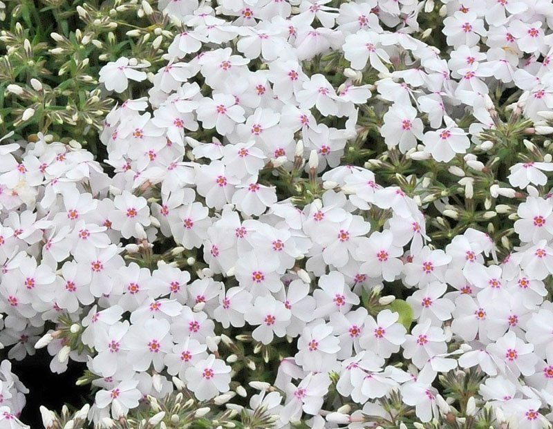 A multitude of white, delicate flowers with dark pink dot in the middle.