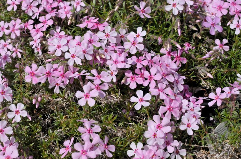 A multitude of light pink, delicate flowers with dark pink dot in the middle.