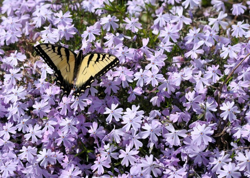 Delicate purple blooms in a patch with yellow and black butterfly on the blooms.
