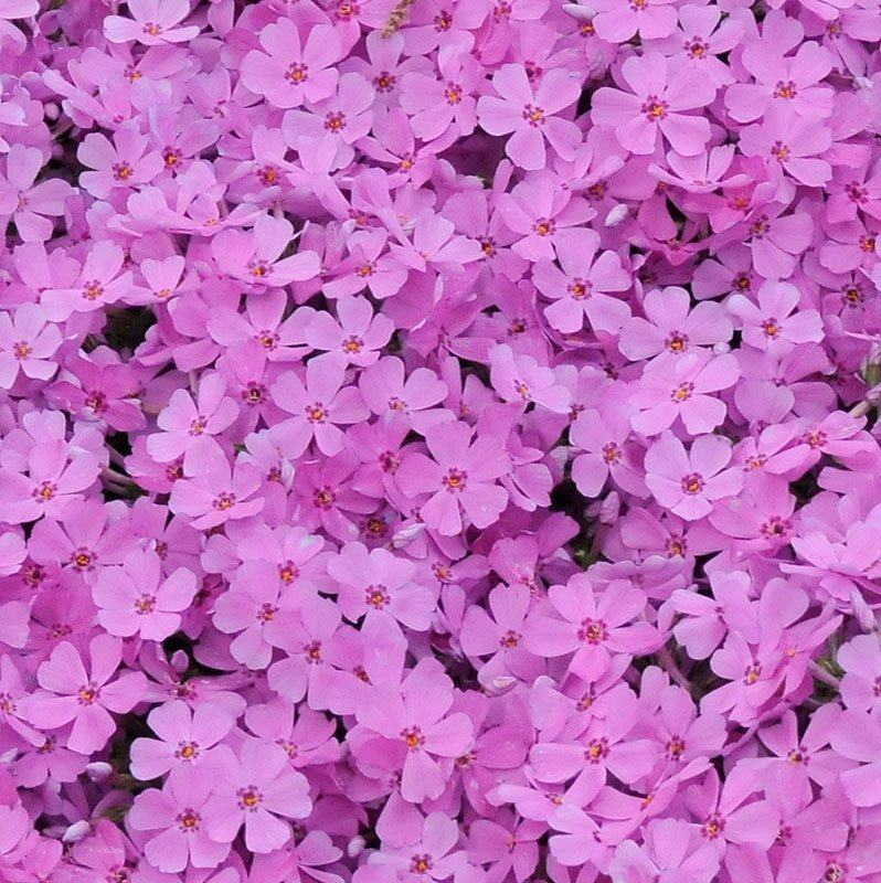 Solid view of small, dark pink blooms in a clump.