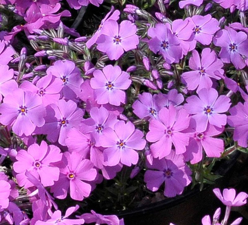 Light purple blooms in clump.