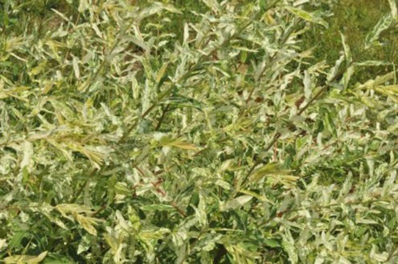 Light green foliage on long stems.