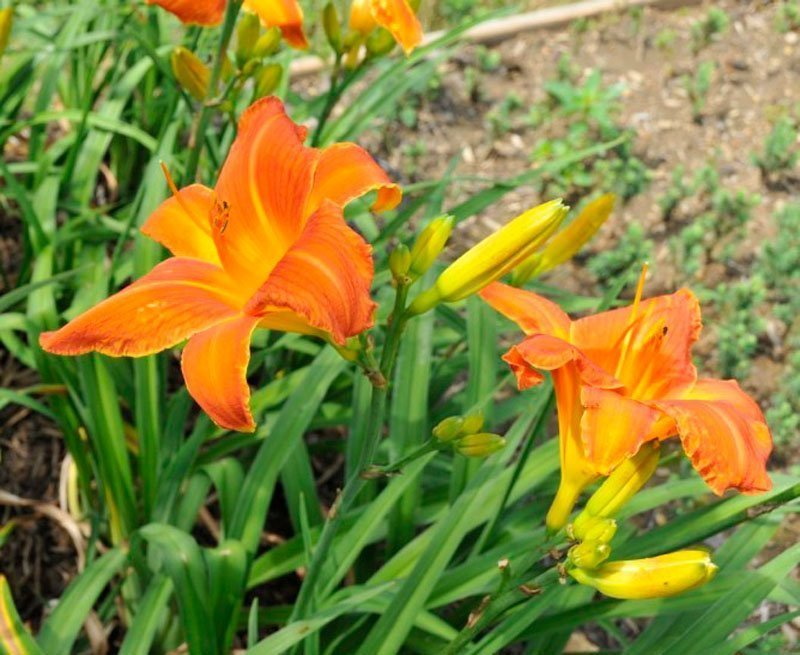 Brilliant orange blooms and buds with dark green foliage in flowerbed.