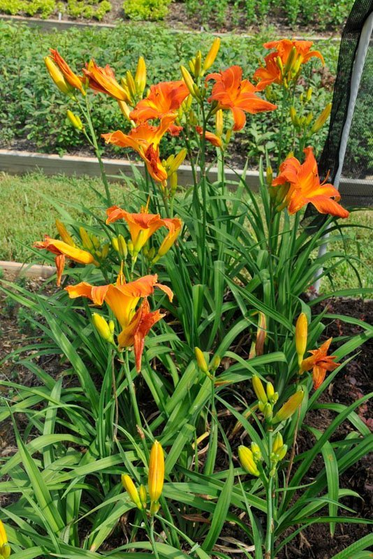 Beautiful orange blooms on long green foliage in flowerbed.