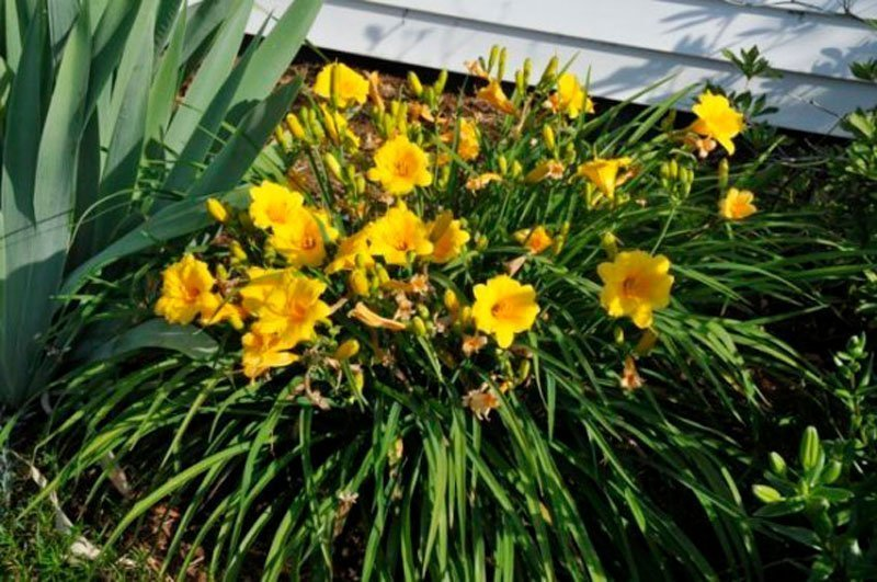 Single clump of green foliage with multiple yellow blooms in flowerbed.