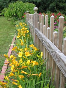 Brilliant yellow blooms on plants along wooden picket fence.