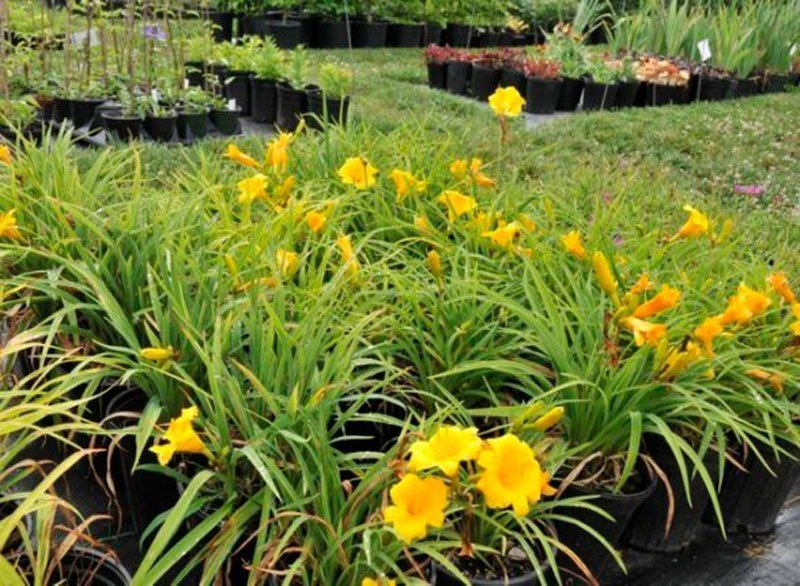 Yellow blooming plants in flower bed.