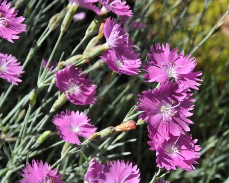 Lacy pink blooms on grayish green, slender stems.