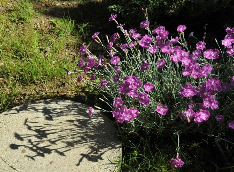Dark pink blooming clump next to paving stone.