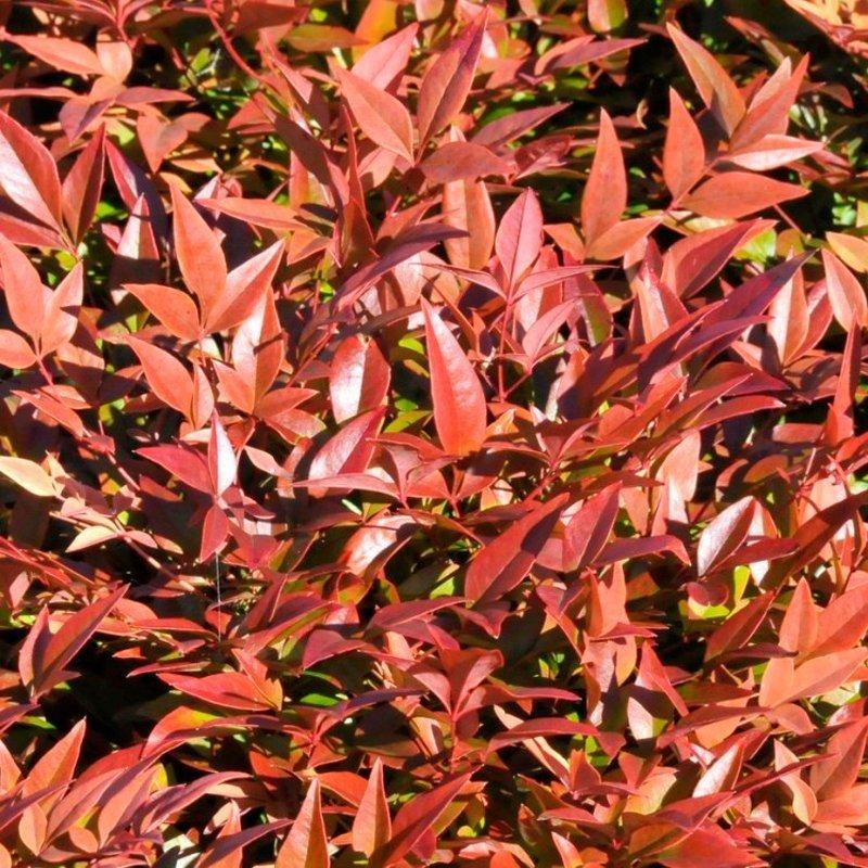 Bright redish orange leaves.
