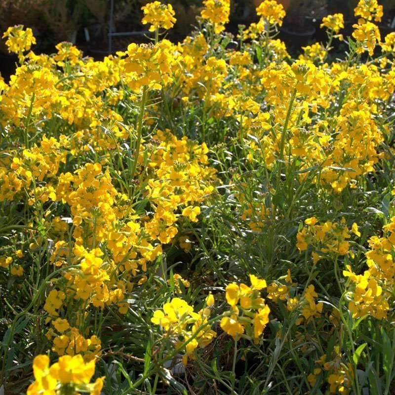 Tall patch of brilliant yellow blooms on green foliage.