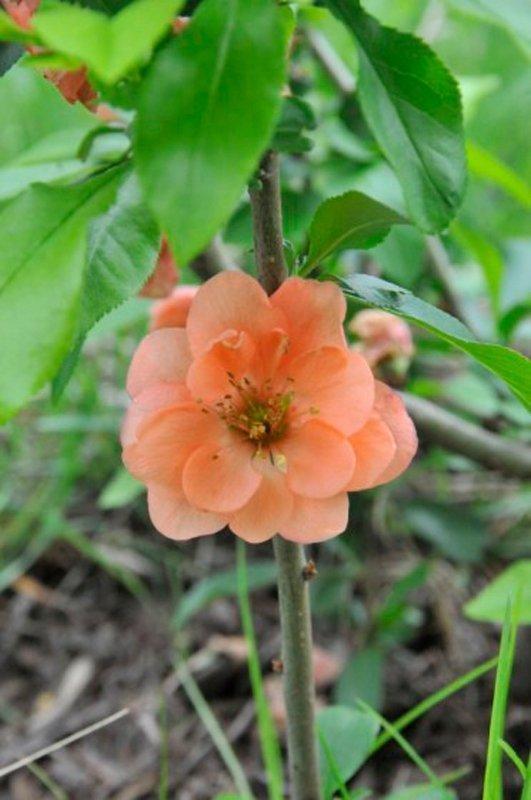 Light orange blossom and dark glossy green leaves.