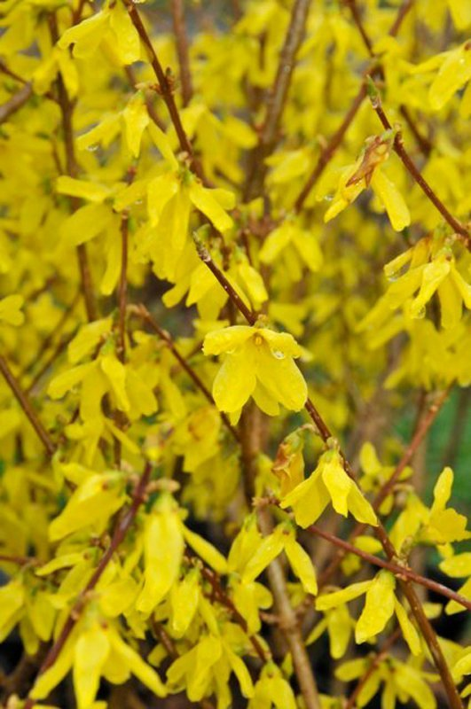 Closeup of twigs covered with yellow blossoms.