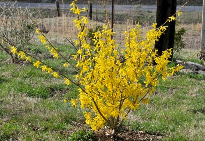 Brown slender twigs on bush with bright yellow blossoms.
