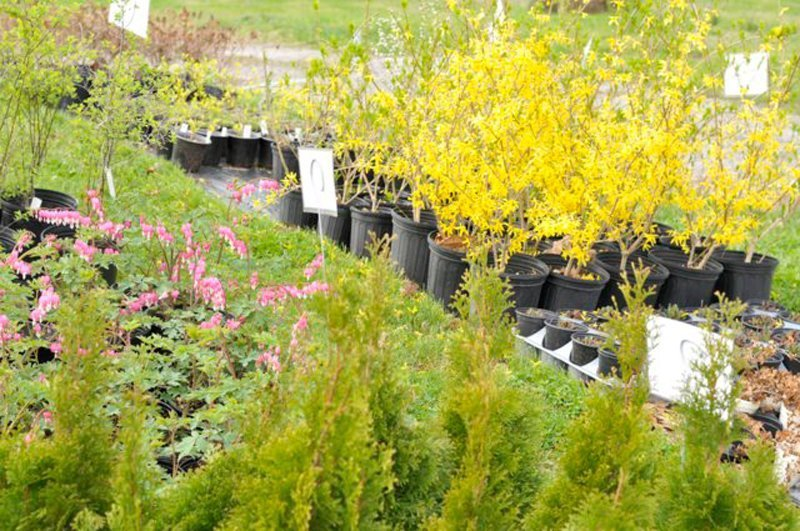 Shrubs with yellow blossoms in black pots.