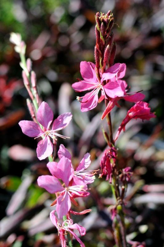 Light and dark pink blossoms on stems.
