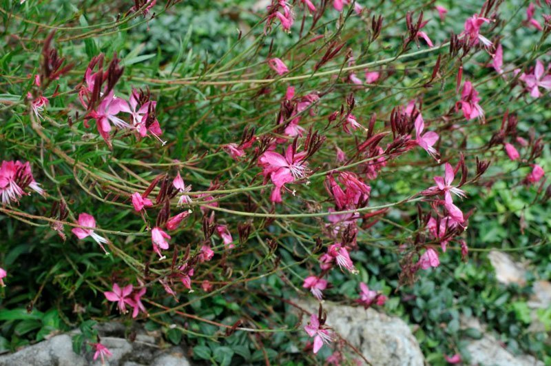 Dark pink blooms on long green stems with thin, green leaves.