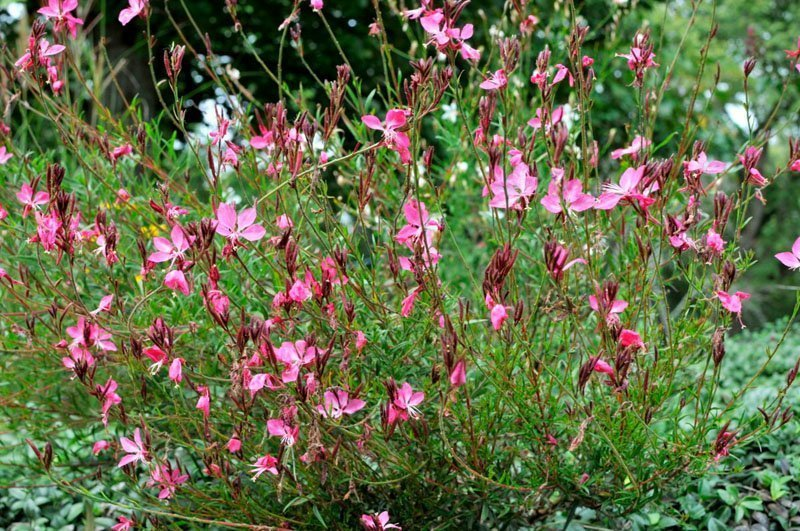 Light pink blooms and dark pink buds on slender green stems in a clump.