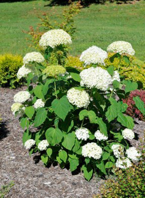 Mature plant with large green leaves and huge white clumps of white blossoms.